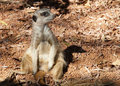 Free Meercat Sitting On His Tail Royalty Free Stock Image - 19419936