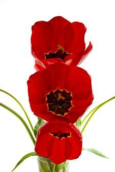 Three Tulips. Royalty Free Stock Photos