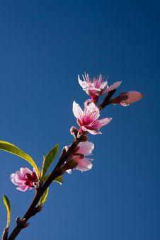 Peach Blossoms In Blue Sky Background Royalty Free Stock Images