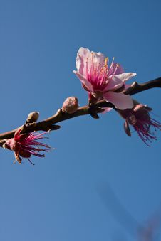 Peach Blossoms In Blue Sky Background Royalty Free Stock Image