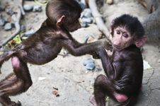 Free Infant/baby Baboons Royalty Free Stock Images - 19411119