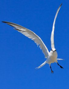 Free Royal Tern Stock Photography - 19412802