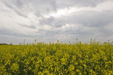 Free Rape Field Stock Photos - 19412823
