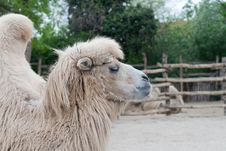 Free Bactrian, Camel Royalty Free Stock Photography - 19412877