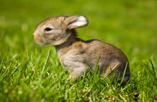 Gray Bunny In Green Grass Stock Image