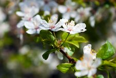 Free Cherry Tree In Flowers Royalty Free Stock Photography - 19412897