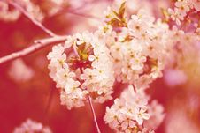 Free Cherry Flowers On Tree Stock Image - 19413201
