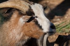 Free Goat Stock Photos - 19413343