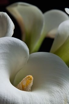 Free Calla Lilies Stock Image - 19413491