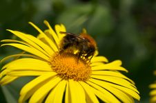 Free Bumblebee Stock Images - 19413704