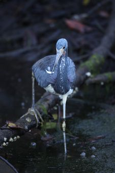 Free Tricolored Heron Royalty Free Stock Photos - 19414688