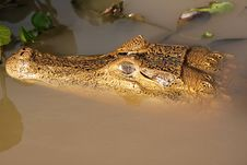Free Crocodile Head In The Water Royalty Free Stock Images - 19415859