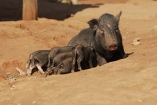 Free Pig S Family Stock Photo - 19416010