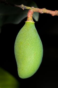 Free Mango Royalty Free Stock Photo - 19417535