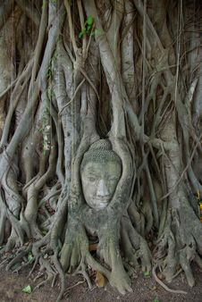 Free Buddha Image Head Stuck In The Tree2 Royalty Free Stock Photo - 19418415