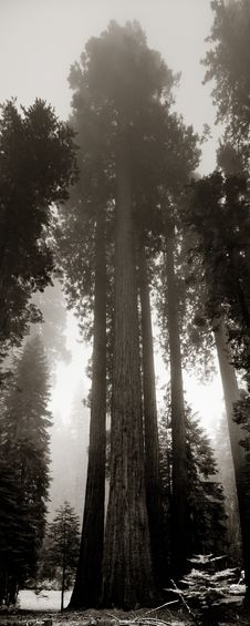 Giant Sequoias In Yosemite Royalty Free Stock Images