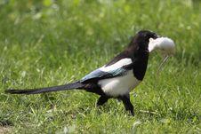 European Magpie Royalty Free Stock Photos