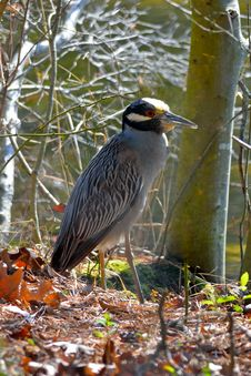 Free Yellow-crowned Night Heron Royalty Free Stock Photos - 19419368