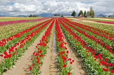 Free Tulip Field. Royalty Free Stock Photography - 19419767