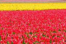 Free Tulip Field. Royalty Free Stock Photos - 19419798