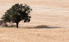 Free Olive Tree Stock Photo - 19419950