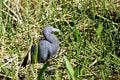 Free Little Blue Heron Stock Photos - 19422273