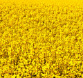 Free Beautiful Rape Fields In Spring Stock Images - 19425194