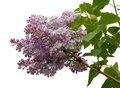 Free Lilac Stock Images - 19426194