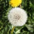 Free Taraxacum Seedhead Stock Images - 19428754