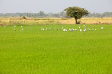 Free Egrets Feeding In Paddy Field Royalty Free Stock Images - 19420629