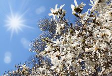 Free Flowering White Magnolia Stock Photography - 19421192