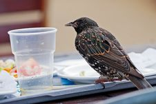 Free Bird Standing On The Plate With Food Leftove Royalty Free Stock Photos - 19421968