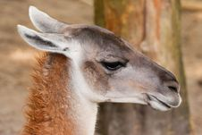 Free Guanaco Head Shot Stock Images - 19421974