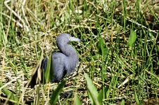 Free Little Blue Heron Stock Photos - 19422273