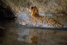 Free Adult Tiger In Water Royalty Free Stock Image - 19422596