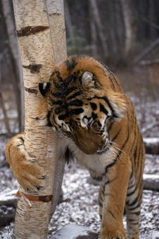 Free Adult Tiger Scratching Tree Stock Images - 19422604