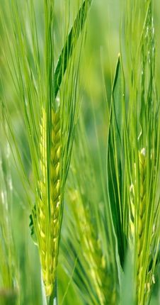 Gree Ears Of Barley Royalty Free Stock Photography