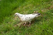 White Pigeon On A Green Grass Stock Photos