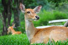 Free Deers Royalty Free Stock Image - 19424716