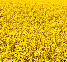 Beautiful Rape Fields In Spring Stock Images