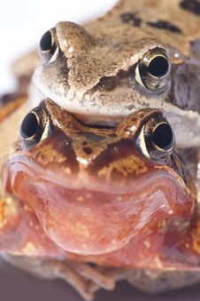 Frog Sex Stock Image