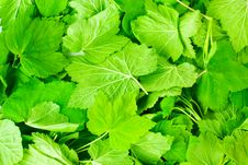 Fragrant Leaves Of Currant Stock Image