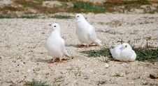 Free White Pigeons Stock Images - 19428404