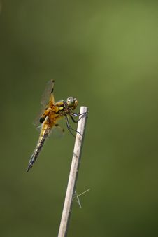 Free Four-spotted Chaser (Libellula Quadrimaculata) Stock Image - 19428941