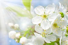 Free Flowering Cherry Royalty Free Stock Photography - 19429007