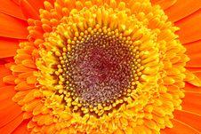 Free Orange Gerber Royalty Free Stock Image - 19429546