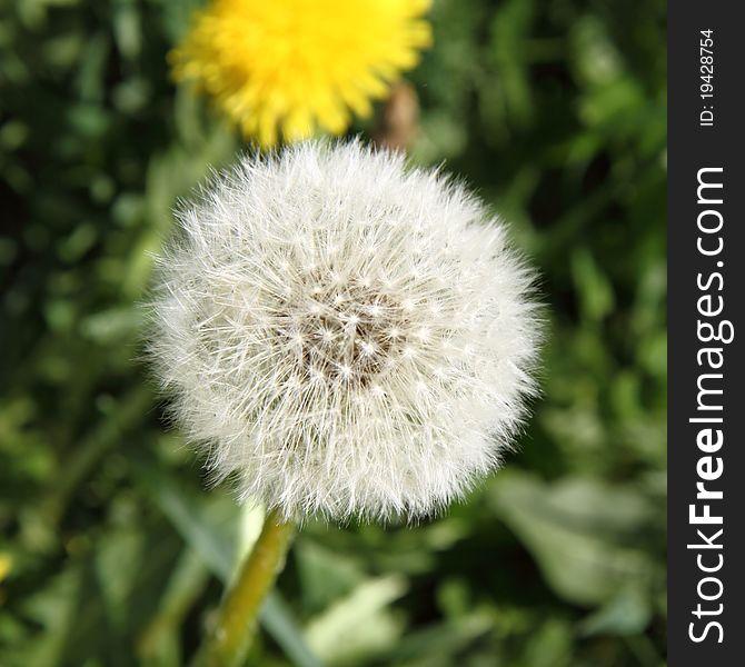Taraxacum seedhead
