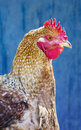 Free Hen Against Blue Wooden Wall Royalty Free Stock Image - 19431316