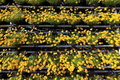 Free Yellow Flowers Royalty Free Stock Image - 19436496