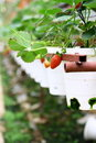 Free Strawberry In The Strawberry Farm Royalty Free Stock Image - 19437246